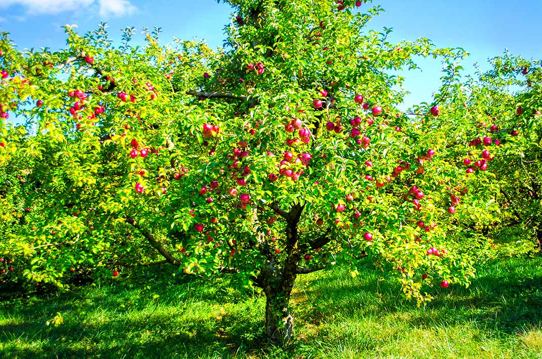 Bright green tree with red apples