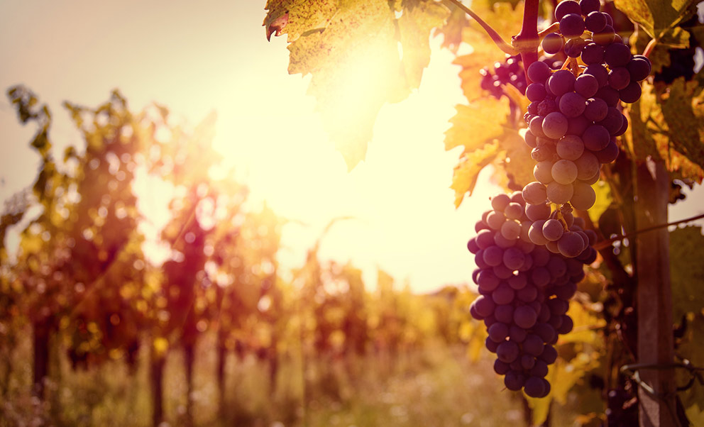 Northern Virginia Wine Tours grapes at sunset